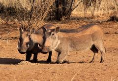 alert warthogs eating pellets - stock photo