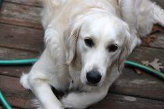British golden retriever dog on patio with hose Stock Photos