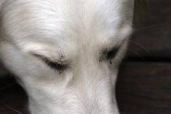 British golden retriever dog closed eyes face Stock Photos