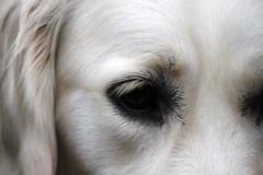British golden retriever dog face Stock Photos