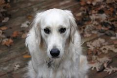Dog on patio in autumn / fall Stock Photos