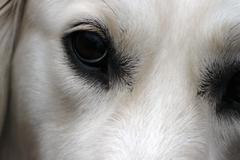 Dog eyes - British golden retriever Stock Photos