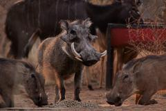 alert warthogs eating pellets with guard - stock photo