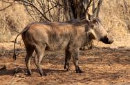 Warthog male basking Stock Photos