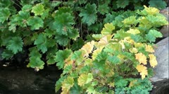 Beautiful Green and Yellow Fall Plants on Mountain Creek Stock Footage
