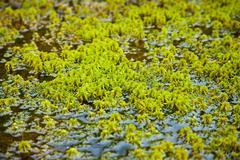 Pohjois sammal kasvaa keskuudessa vettä Kuvituskuvat