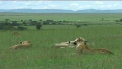Lion Pride - stock footage