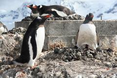 Gentoo penguin, greeting its mate Stock Photos