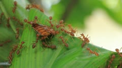 Red weaver ants move their food Stock Footage