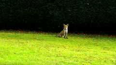 Urban foxes 04 Stock Footage