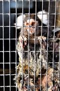 Sad captive marmoset Stock Photos