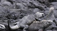 Marine Iguanas on a lava rock - stock footage