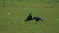 Crows Stock Footage