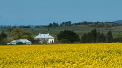 Canola field and house Stock Footage