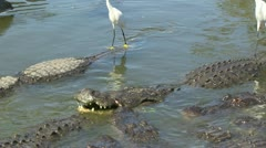 Gators and egrets fighting Stock Footage