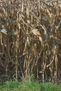 Stock Photo of autumn corn field