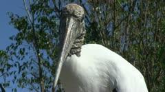 Wood stork Stock Footage