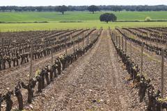 Vineyard bud break Stock Photos