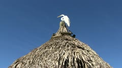 Egret on thatched roof Stock Footage