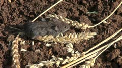 Bank vole (Clethrionomys glareolus)  on wheat ears Stock Footage
