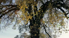 Fall oak tree, slow pan upward Stock Footage