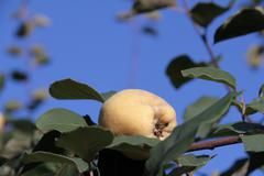A quince on a branch - stock photo
