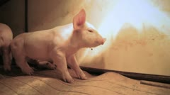 Piglet Relaxing HD - stock footage