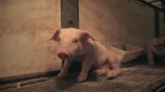 Piglet Sitting HD - stock footage