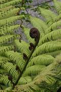 Fern Leaves & Koru (Fern Frond) Stock Photos