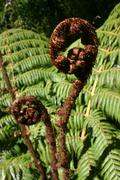 Fern Leaves & Koru (Fern Frond) - stock photo