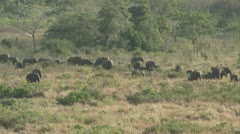 A large herd of elephants in the veld - stock footage