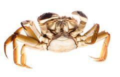 red crab - stock photo