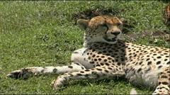 Cheetah panting Stock Footage