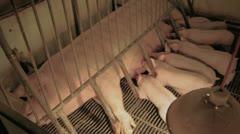 Piglets Feeding Stock Footage