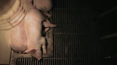 Piglets Sleeping Overhead Stock Footage