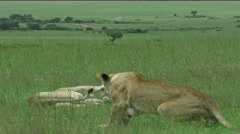 Lions greeting eachother - stock footage