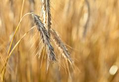 spikelets of ripe wheat - stock photo