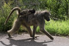 Baboon and Her young. Stock Photos