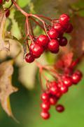 red berries of arrowwood - stock photo
