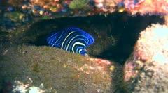 Semicircle angelfish (Pomacanthus semicirculatus) juvenile Stock Footage