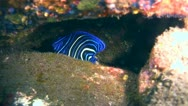 Stock Video Footage of Semicircle angelfish (Pomacanthus semicirculatus) juvenile