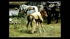 British Columbia playing with foal 1939 - stock footage