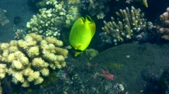 Latticed butterflyfish (Chaetodon rafflesi) Stock Footage