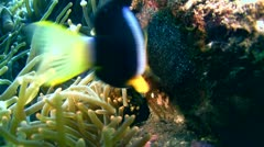 Clark's anemonefish (Amphiprion clarkii) taking care of its eggs Stock Footage