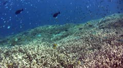 Field of pristine mix coral full of reef fishes - stock footage