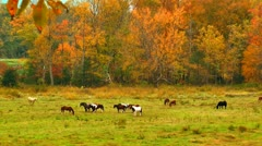 Horses in Tennessee autumn pasture Stock Footage