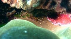 Flat rock crab (Percnon planissimum) Stock Footage