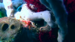 Red crab with white hair Stock Footage