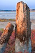 Petrified tree stubs on the lake, kuyalnik, ukraine Stock Photos