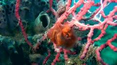 Orang-utan crab (Achaeus japonicus) swinging2 Stock Footage